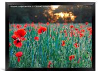 Poppies in Green Corn, Framed Print