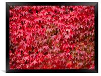 Boston Ivy in Autumn, Framed Print