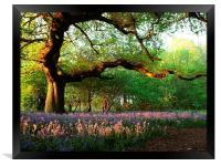 Oak Tree Canopy with Bluebells, Framed Print