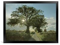 Brilliant sunburst in an Oak tree, Framed Print