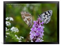 Mr and Mrs Marbled White on a Spotted Orchid, Framed Print