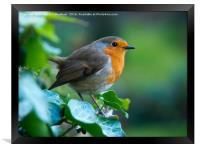 Robin at the window, Framed Print