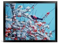Blackbird  , Framed Print