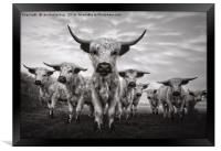Highland Cattle Mixed Breed Mono, Framed Print