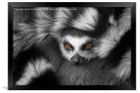 Ring-Tailed Lemur, Framed Print