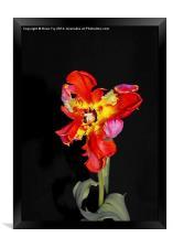 Beautiful Parrot Tulip, Framed Print
