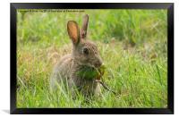 Common brown rabbit, Framed Print