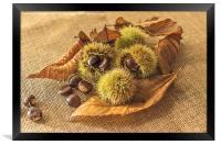 Sweet Chestnut seed pods, Framed Print