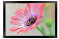Beautiful Osteospermum, Framed Print