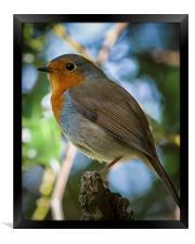 On guard Robin style, Framed Print