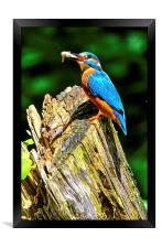 kingfisher, Framed Print