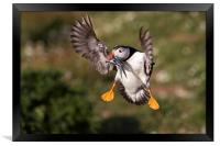 Puffin with Sand Eels, Framed Print