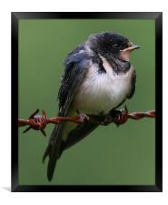 Swallow just fledged, Framed Print