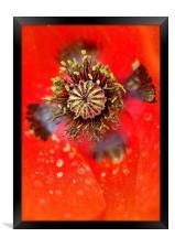 Poppy Head macro, Framed Print