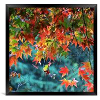 Rainy Autumn Acer at Westonbirt, Framed Print