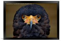 Bateleur Eagle, Framed Print