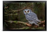 White-faced Scops Owl , Framed Print