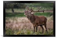 Royal red deer stag, Framed Print