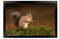 Red Squirrel portrait, Framed Print