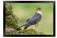 Sparrowhawk, Framed Print