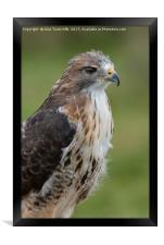 Red tailed hawk, Framed Print