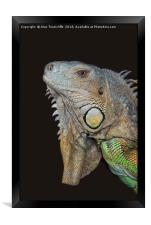 Close up of an iguana, Framed Print