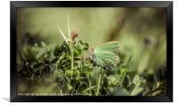 Green Hairstreak, Framed Print