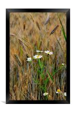 Wild Daisies in Barley Field, Framed Print