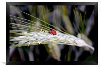 Ladybird on Barley, Framed Print