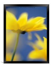 Soft Focus Yellow Chrysanthemums, Framed Print