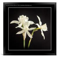 White Narcissus, Framed Print