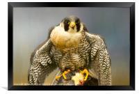 Peregrine Falcon Feeding, Framed Print