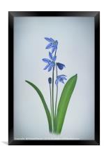 Scilla sibirica, Framed Print