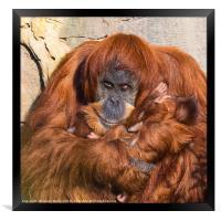 Mother and baby Sumatran Orangutans, Framed Print