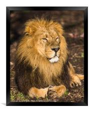 Asiatic lion in the sunshine, Framed Print