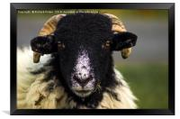 Swaledale Sheep, Framed Print