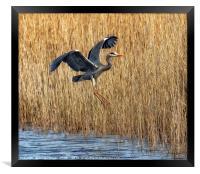 heron landing, Framed Print