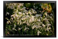 """Evening light on the snowdrops "", Framed Print"