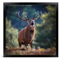 Rutting Red Deer Stag, Framed Print