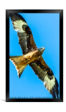 Red Kite Soaring in Blue Sky, Framed Print