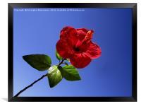 A kind of hollyhock funnel flower,, Framed Print