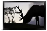 elk stag feeding at sunset, Framed Print