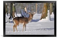 fallow deer in snow, Framed Print