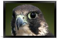 Peregrine Falcon (Falco peregrinus), Framed Print