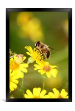 Bee collecting Nectar, Framed Print