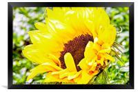 Sunflower, Framed Print