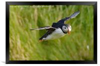 Puffin in flight, Framed Print