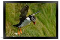 Puffin take off, Framed Print