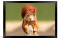 Red Squirrel , Framed Print