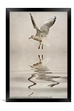 Black-headed gull, Framed Print